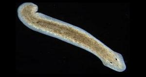 Искусственный интеллект разгадал загадку регенерации червей
