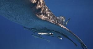 Вчені створили робота, який досліджуватиме життя акул