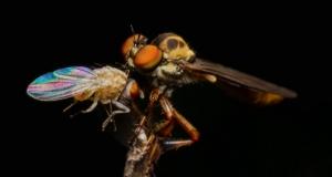 Як найбільш гострозора комаха на планеті може удосконалити безпілотники