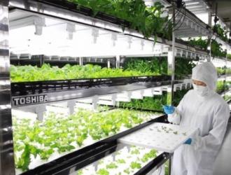 На старом дискетном заводе Toshiba выращивают салат, который не нужно мыть