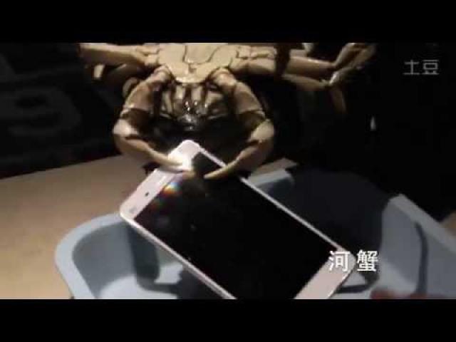 Xiaomi использовали живых крабов, чтобы протестировать смартфон Mi4 на прочность