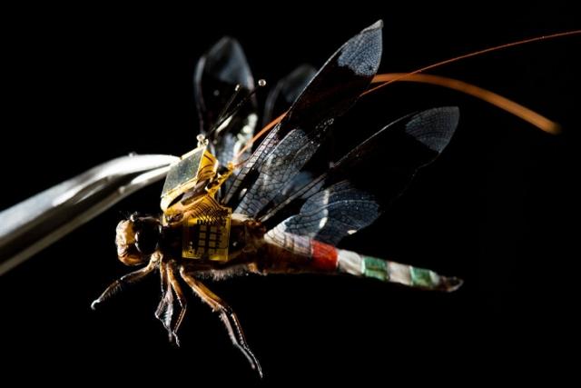 Перший політ комахи-кіборга (відео)
