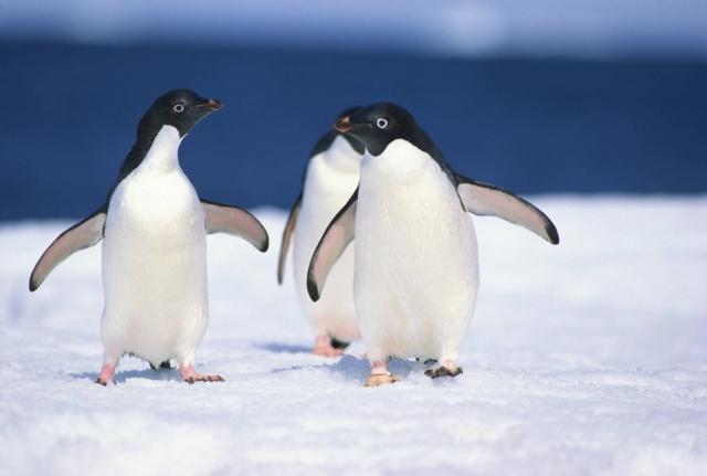 Ось чому найбезпечніший спосіб пересування по льоду – так, як це роблять пінгвіни