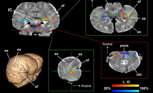 Новый метод визуализации помог изучить то, как мозг дельфинов обрабатывает звук