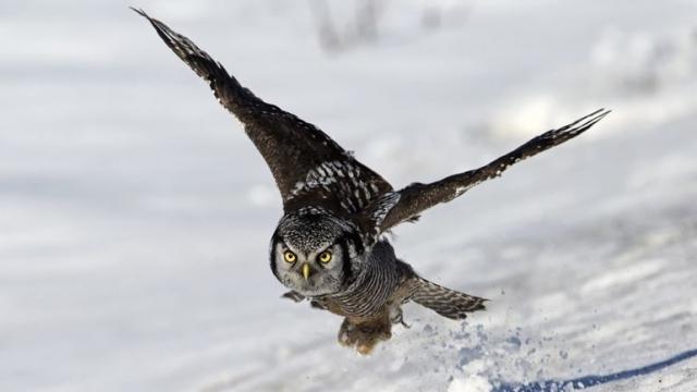 Имитация крыла совы позволит уменьшить шум ветряных турбин и вентиляторов
