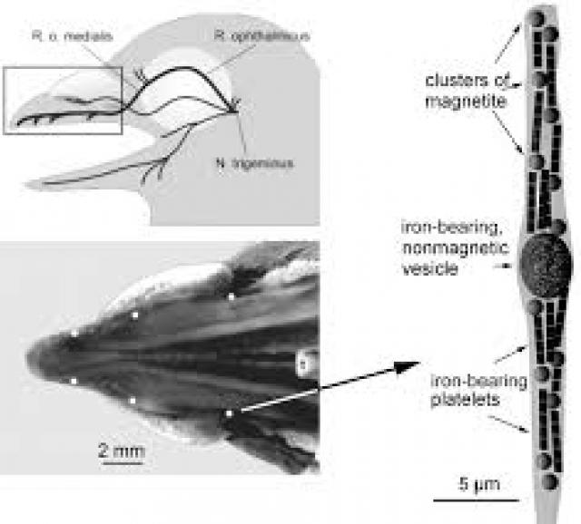 Может ли «квантовый компас» помогать птицам ориентироваться в пространстве через магнитное поле?
