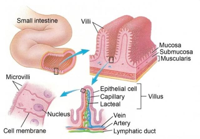 Человеческая кишка, выращенная в мыши, позволит улучшить наш кишечник